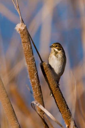 bullrush: bird on bullrush Stock Photo