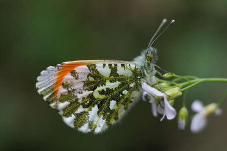 orange-tip butterfly Stock Photo - 2530647
