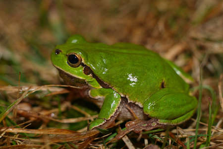 Tree frog - small animal with smooth skin and long legs that are used for jumping. European tree frog (Hyla arborea) is more or less common in Europe.