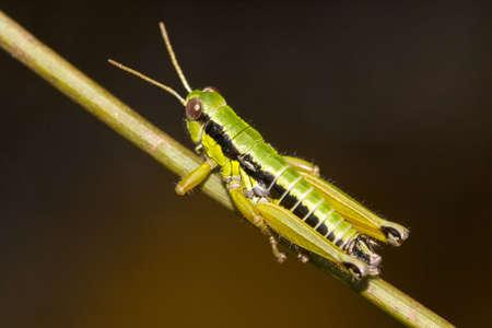 Macro shot of a grasshopper in nature.