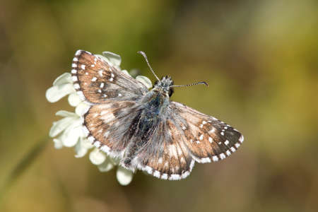 Grizzled Skipper butterfly on flower. Stock Photo