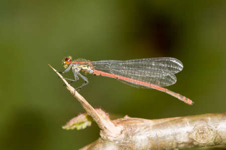 Large Red Damselfly on a branch.