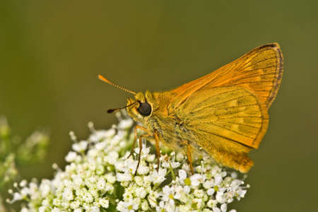 ochlodes: Large Skipper butterfly on a flower.