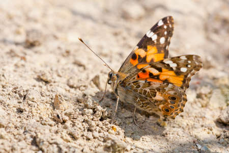 Close up of a Painted Lady butterfly sitting on the ground.