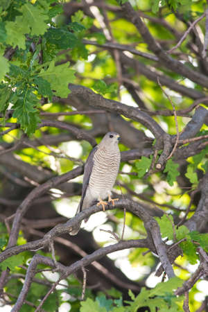 Levant Sparrowhawk hiding on some branches