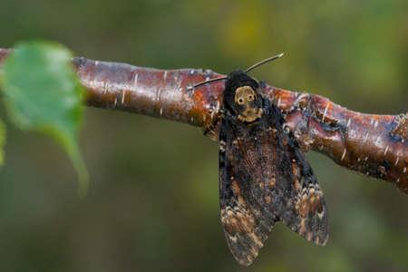 sphingidae: Deaths-head Hawk-moth sitting on a branch Stock Photo