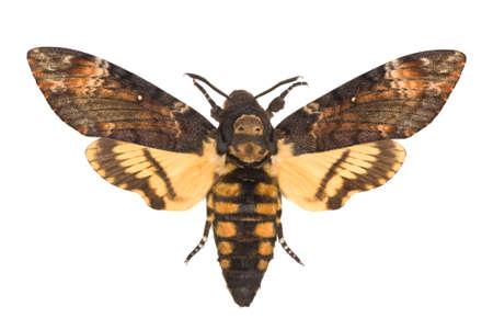 adult Deaths-head Hawkmoth (Acherontia atropos) isolated on white Stock Photo