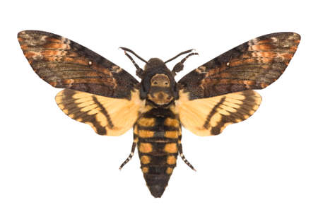 adult Deaths-head Hawkmoth (Acherontia atropos) isolated on white Stock Photo