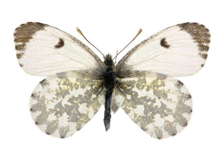 adult female of Orange Tip (Anthocharis cardamines) isolated on white photo
