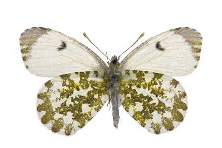 anthocharis: adult female of Orange Tip (Anthocharis cardamines) isolated on white