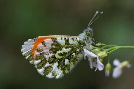 anthocharis: Anthocharis butterfly