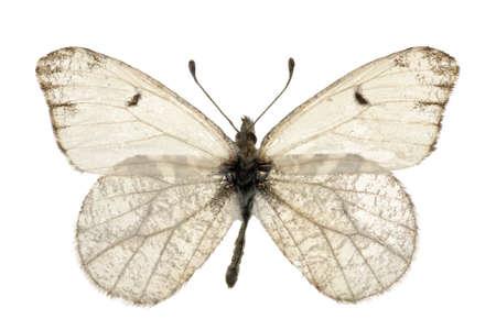 anthocharis: adult of Grey Marble (Anthocharis lanceolata) isolated on white