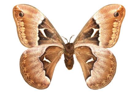 adult male of (Callosamia angulifera) isolated on white Stock Photo
