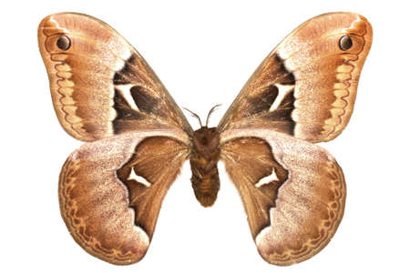 adult male of (Callosamia angulifera) isolated on white Standard-Bild