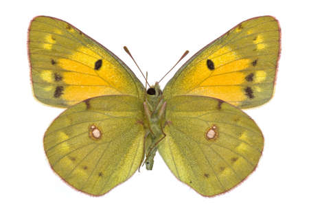 pieridae: female of Dark Clouded Yellow (Colias croceus) isolated on white