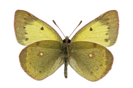 pieridae: male of Eastern Pale Clouded Yellow (Colias erate) isolated on white Stock Photo