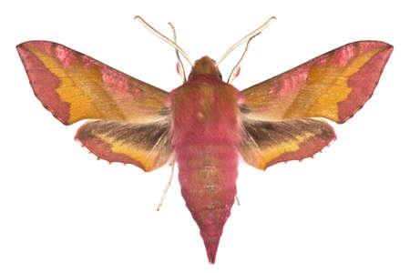 adult of Small Elephant Hawk-moth (Deilephila porcellus) isolated on white