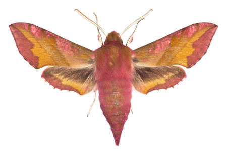 deilephila: adult of Small Elephant Hawk-moth (Deilephila porcellus) isolated on white