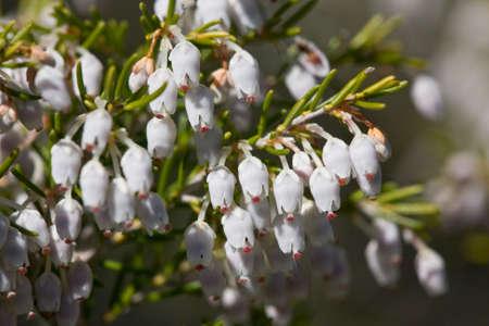 erica: flowers of tree heath (Erica arborea) Stock Photo