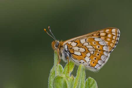 Adults Marsh Fritillary (Euphydryas aurinia)