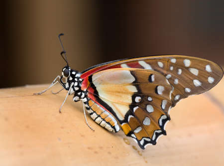 emerged: freshly emerged Graphium angolanus resting