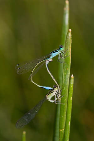 copula: Pair of Blue-tailed Damselfly (Ischnura elegans) in copula