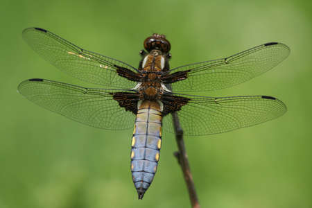 libellula: Libellula depressa sitting on a straw