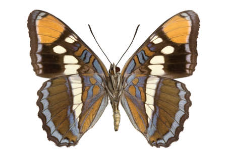 adult California Sister (Limenitis bredowii) isolated on white Standard-Bild