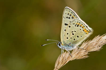 male of BluSooty Copper (Lycaena tityrus) photo