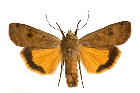 spreaded: moth Large Yellow Underwing (Noctua pronuba) spreaded Stock Photo