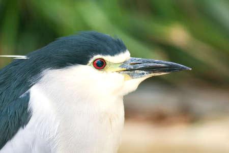Black-crowned Night Heron portrait photo