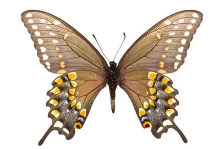 male of Black Swallowtail (Papilio polyxenes) isolated on white Standard-Bild