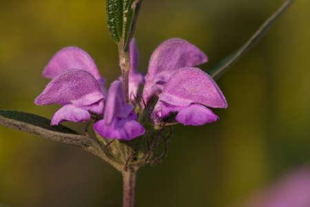 flowers of Phlomis pungens