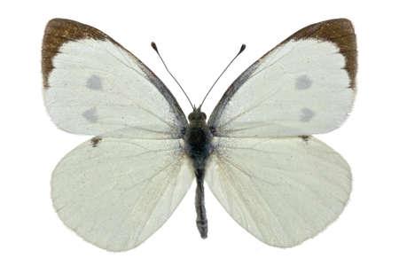 male of Pieris brassicae (Large White) isolated on white Stock Photo