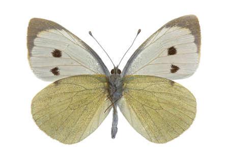 pieridae: male of Pieris brassicae (Large White) isolated on white Stock Photo