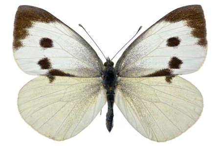 female of Pieris brassicae (Large White) isolated on white