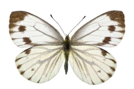 pieridae: female of Green-veined White (Pieris napi) isolated on white Stock Photo