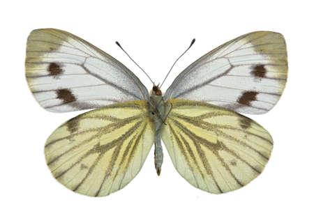 female of Green-veined White (Pieris napi) isolated on white Stock Photo