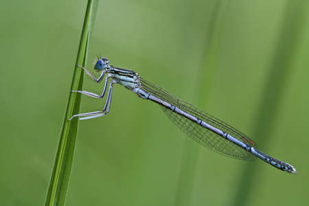 Male White-legged Damselfly (Platycnemis pennipes) photo