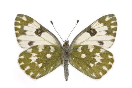 pieridae: female of Eastern Bath White (Pontia edusa) isolated on white