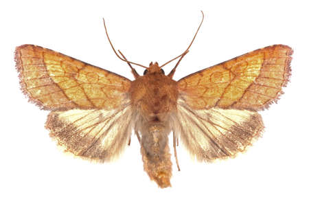spreaded: adult of Bordered Sallow (Pyrrhia umbra) isolated on white