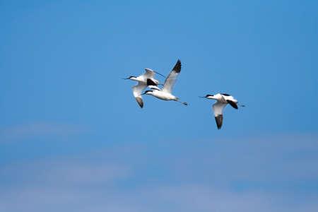 upturned: Several Pied Avocet (Recurvirostra avosetta) in flight Stock Photo