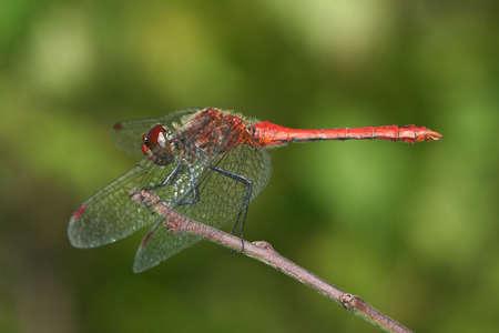 sympetrum: Sympetrum sanguineum sitting on a branch