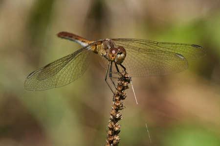 sympetrum: Female of Sympetrum striolatum (Common Darter)