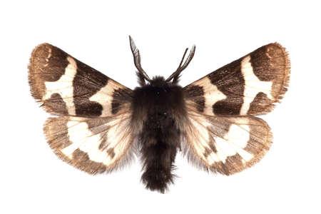adult of Watsonarctia casta isolated on white