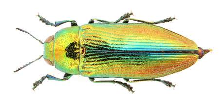 Jewel beetle isolated on white background.