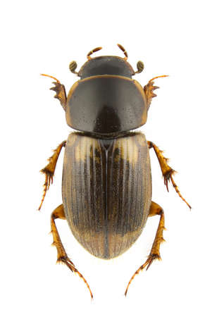 Aphodius prodromus (dung beetle) isolated on a white background. Standard-Bild
