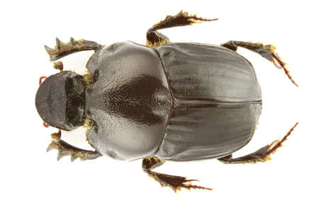 dung: Bubas bubalus isolated (dung beetle) on a white background. Stock Photo