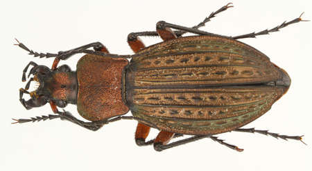 carabus: Carabus cancellatus (ground beetle) isolated on a white background.