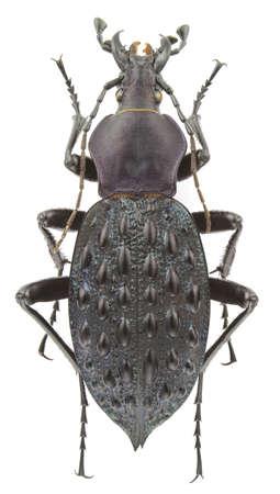carabus: Carabus pustulifer isolated on a white background.